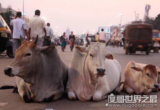 世界上牛最多的国家印度,占全球总数的1/4(视牛为神物严禁杀牛)