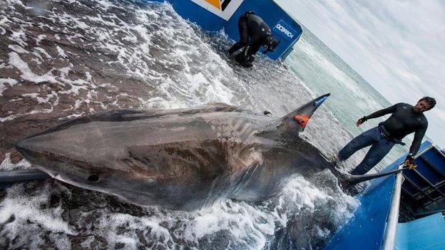 科学家将见证大白鲨首次穿越大西洋