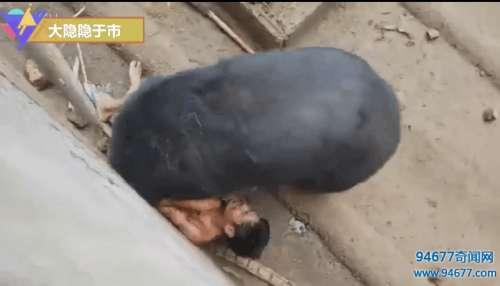 实拍: 男子挑逗黑熊惹怒黑熊遭撕咬15分钟, 送医后缝补1000多针(图文)
