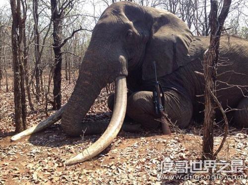 世界上zuì大的象牙,重217斤/长3.11米(距今已有120年的历史)