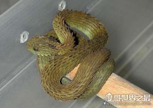 """世界上最漂亮的蛇排名,被称为""""铠甲勇士""""的基伍树蝰排第一"""