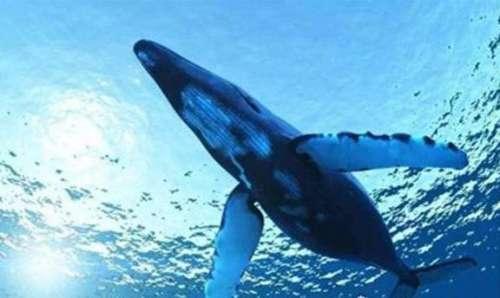 世界上最大的哺乳动物,蓝鲸长33米/重181吨(等于3000个成人体重)