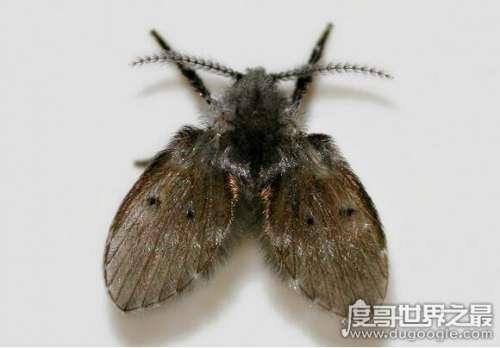 蛾蚋怎么消灭最彻底,普通杀虫剂就可清除(重要的是保持室内干燥)