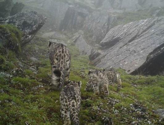四川拍到四只雪豹实在是太罕见了
