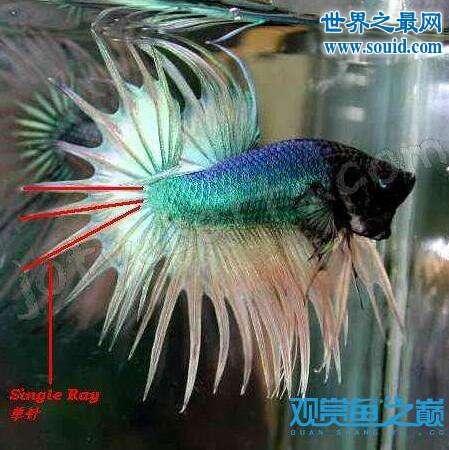 怎么分辨狮王斗鱼,漂亮的大尾巴是身份的象征