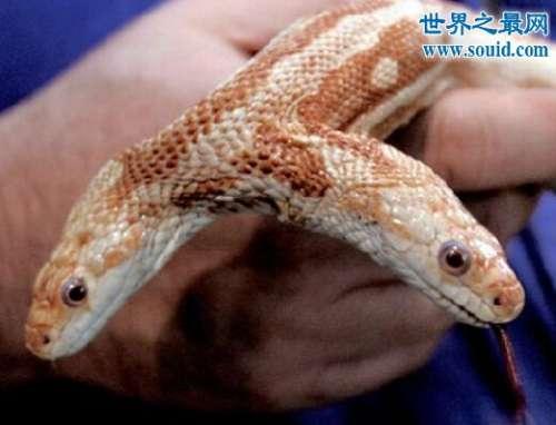 最奇特的变异动物,白化双头蛇(白的几乎透明)