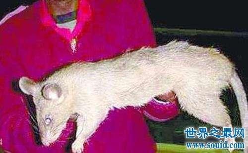 最惊悚的生物变异——切尔诺贝利巨鼠