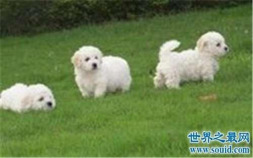 十大家庭犬排名,你是不是也想养一只小可爱呢
