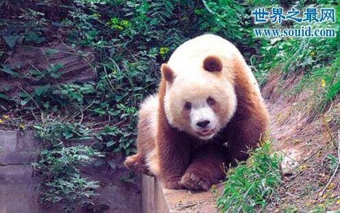 棕色大熊猫,全球现存仅一只(大熊猫返祖现象)