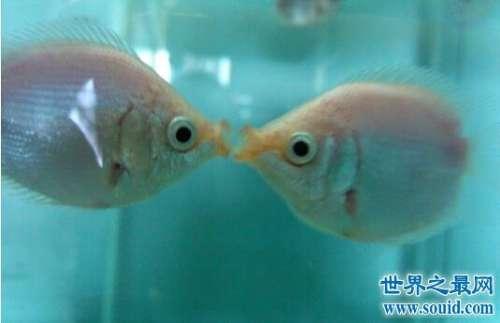 接吻鱼遇见就接吻,其实不是示爱而是打架(图片)