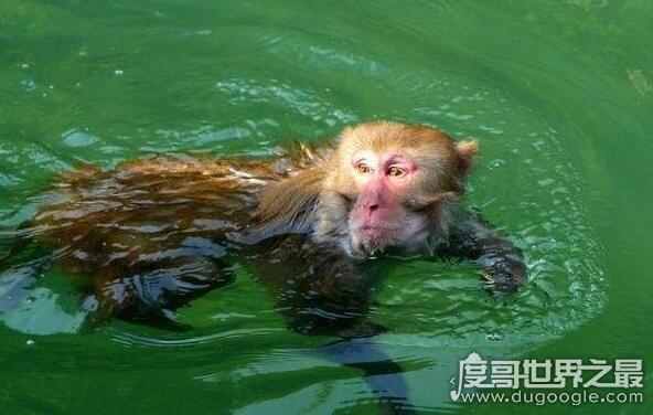 水怪中水猴子是什么动物,真正水猴子图片好恐怖(乃网友ps)